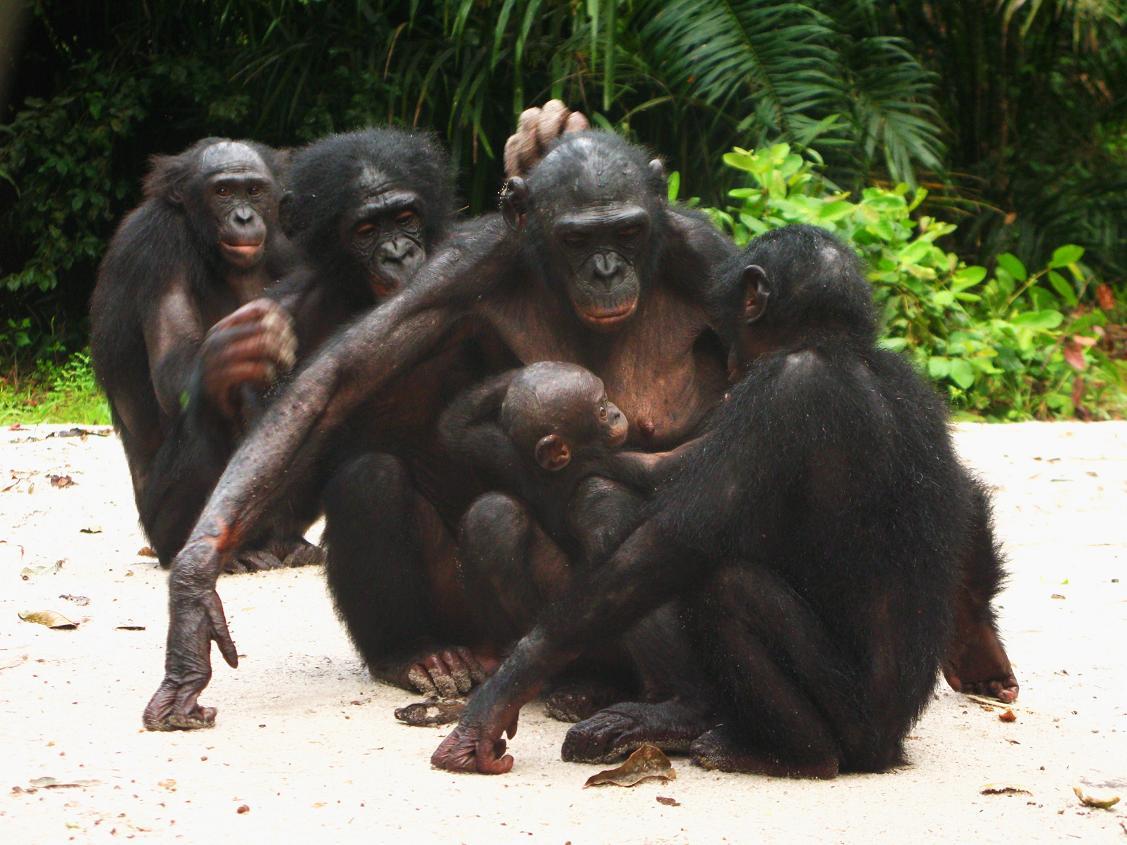 Bonobos monkey sexually