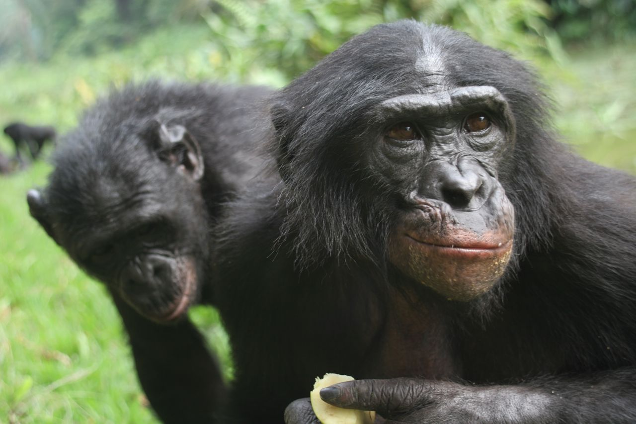 Bonobos | Introduction to Anthropology