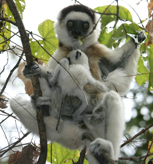 """lemurs in madagascar assignment 2 essay Level material lemurs in madagascar assignment view the """"lemurs in madagascar – surviving on an island of change"""" video using the information found in this video, and in ch 5 and 6 of visualizing environmental science, answer the following questions in 25 to 100 words each 1."""
