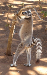 Ring Tailed Lemur Introduction To Anthropology